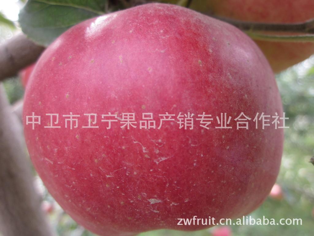 花冠苹果 花牛 宁夏中卫果品 求购花牛苹果我们来供应 水果合作社
